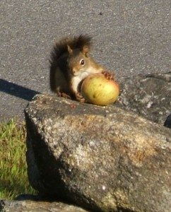 Apple Thieving Squirrel